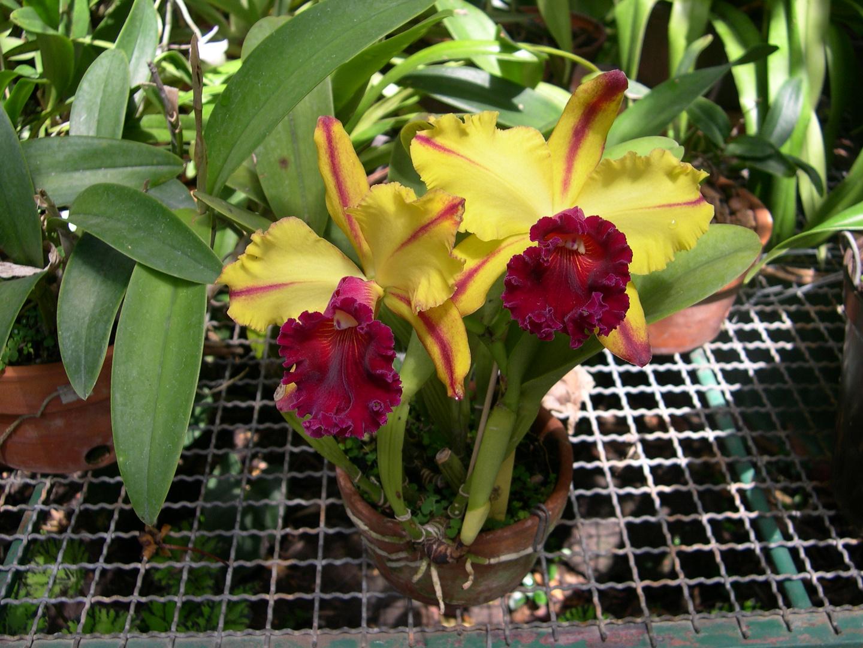 Las Orquideas de Maria de Pinto, amarillo
