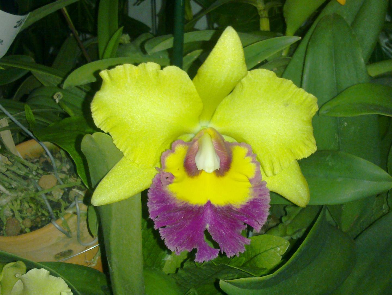 Las Orquideas de Maria de Pinto, amarillo PLUS
