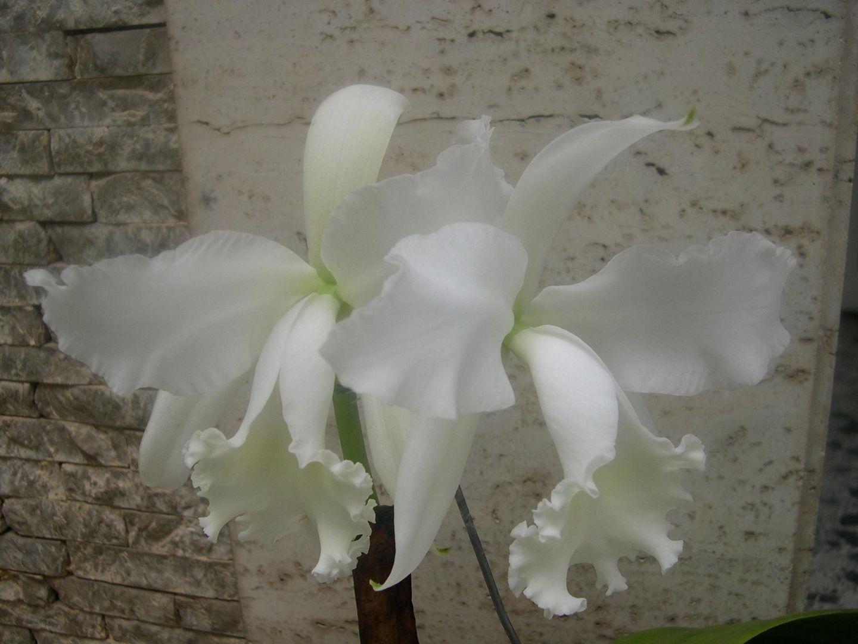 Las Orquideas de Maria de Pinto b
