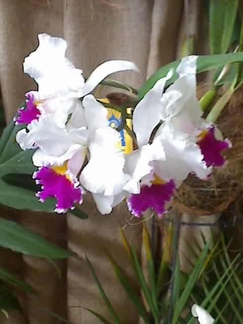 Las Orquideas de Maria de Pinto, bell