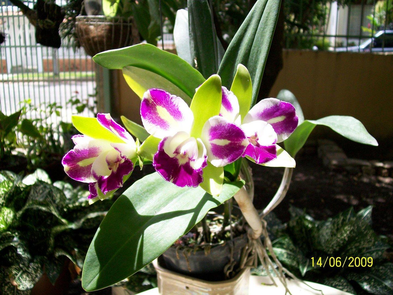Las Orquideas de Maria de Pinto, bellas