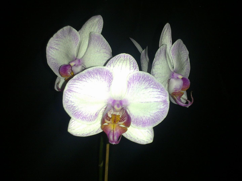 Las Orquideas de Maria de Pinto, bellas blancas