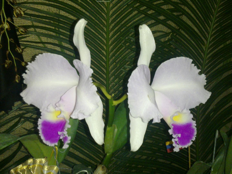 Las Orquideas de Maria de Pinto, blancas bellas