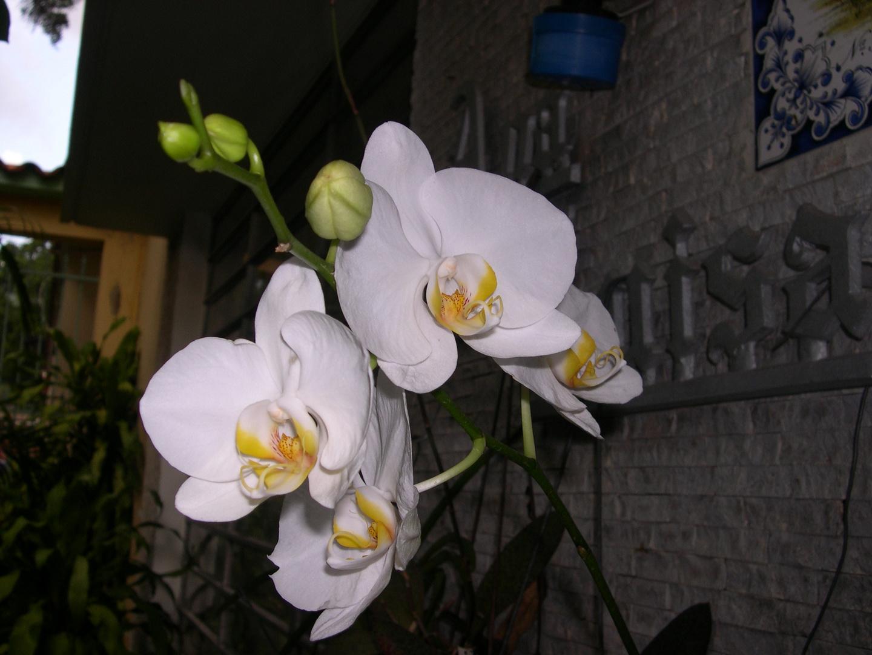 Las Orquideas de Maria de Pinto, blanco
