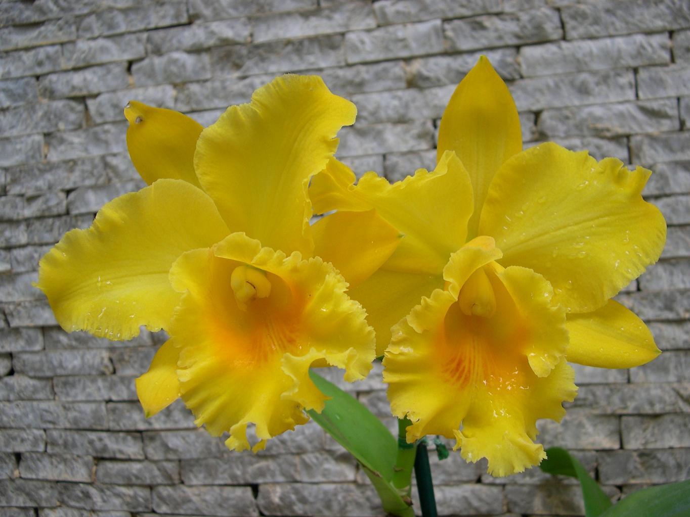Las Orquideas de Maria de Pinto c
