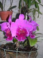 Las Orquideas de Maria de Pinto d