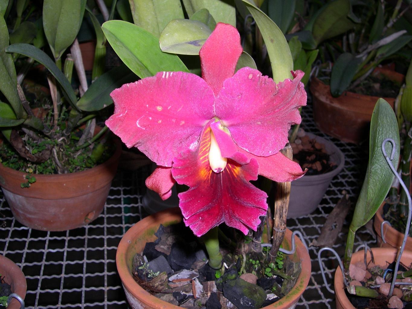 Las Orquideas de Maria de Pinto e