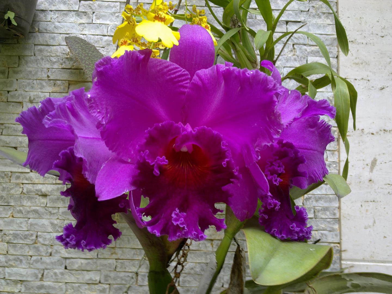 Las Orquideas de Maria de Pinto ee