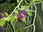 Las Orquideas de Maria de Pinto, SOLITARIA