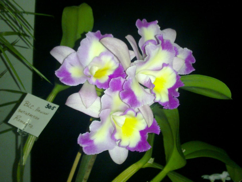 Las Orquideas de Maria de Pinto, VARIAS