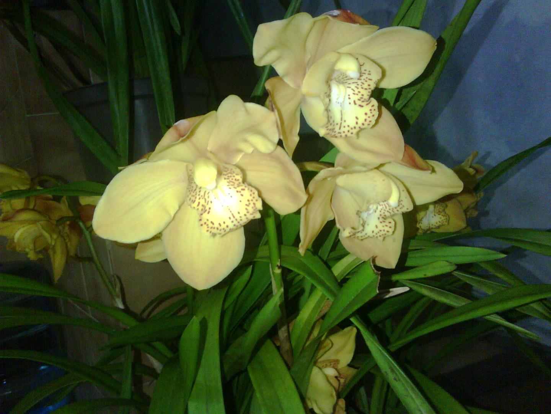 Las Orquideas de Maria de Pinto, yellow