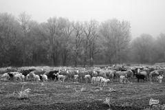"""Las ovejas de Pablo en """"El Bosque"""""""