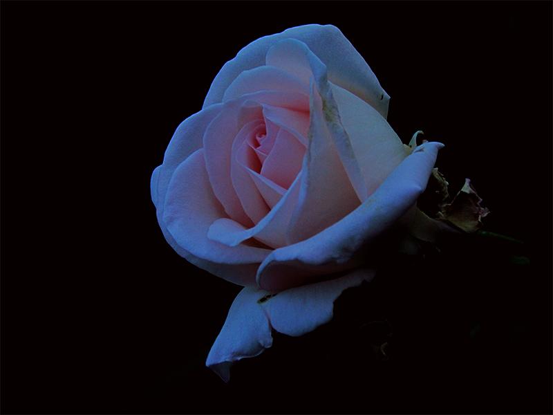 las rosas de Giovanna 2