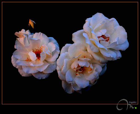 Las rosas... y la luz