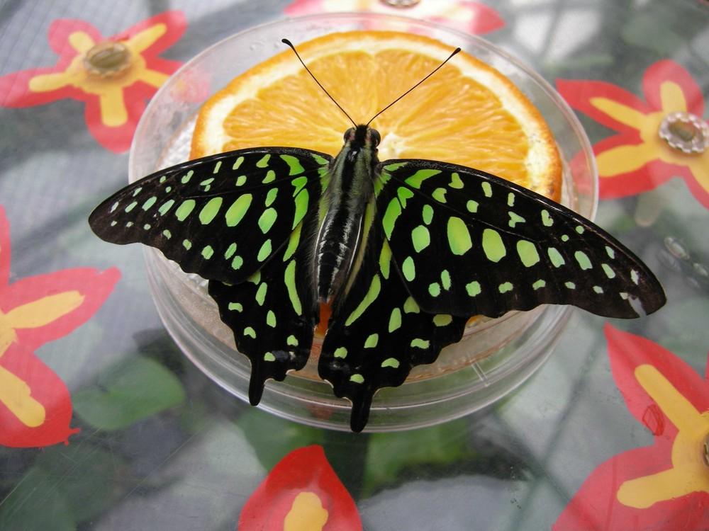 laß mich ein Schmetterling sein