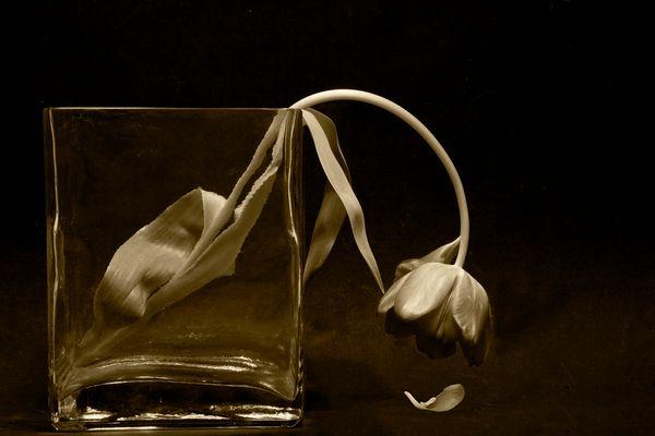 Last gasp tulip