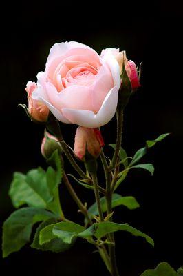...last rose of summer