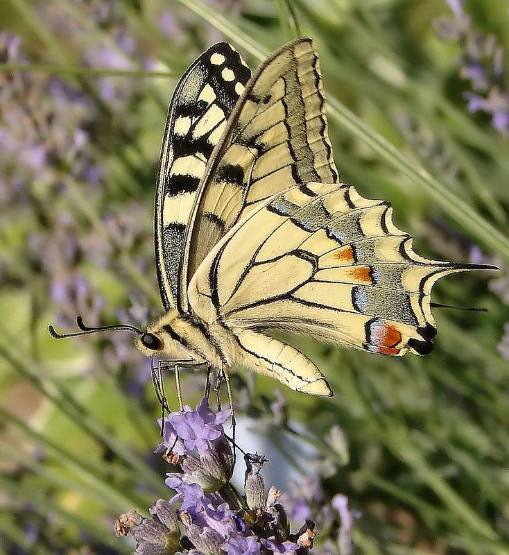 Lastovicar (Papilio machaon)