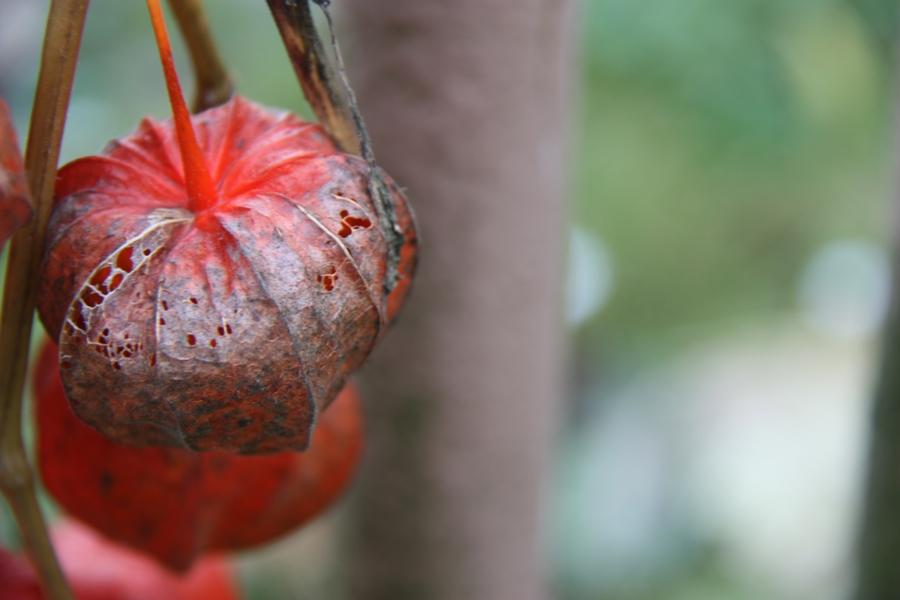 Laternenblume