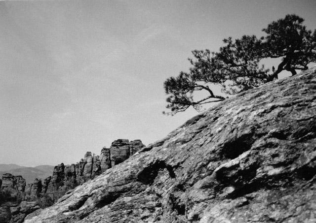 Latschen im Gebirge