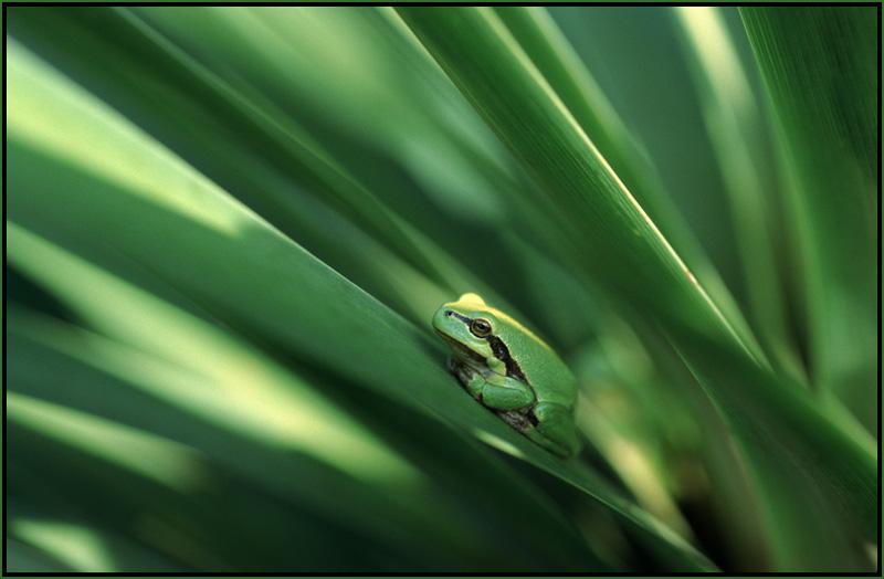Laubfrosch auf Palme