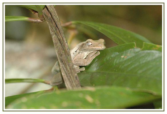 Laubfrosch in Costa Rica