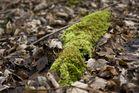 Laubmoos mit Sporophyten