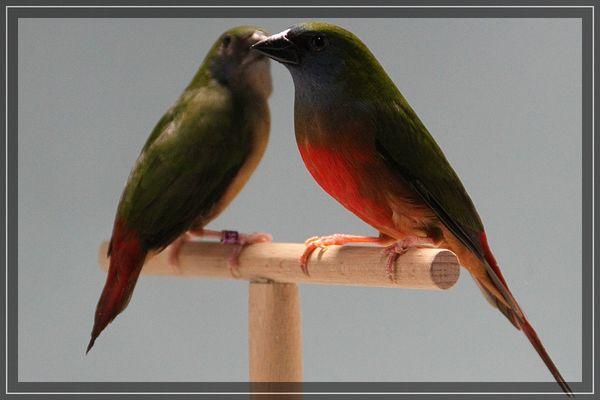 Lauchgrüne Papageiamadine
