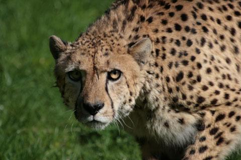 Lauernder Gepard