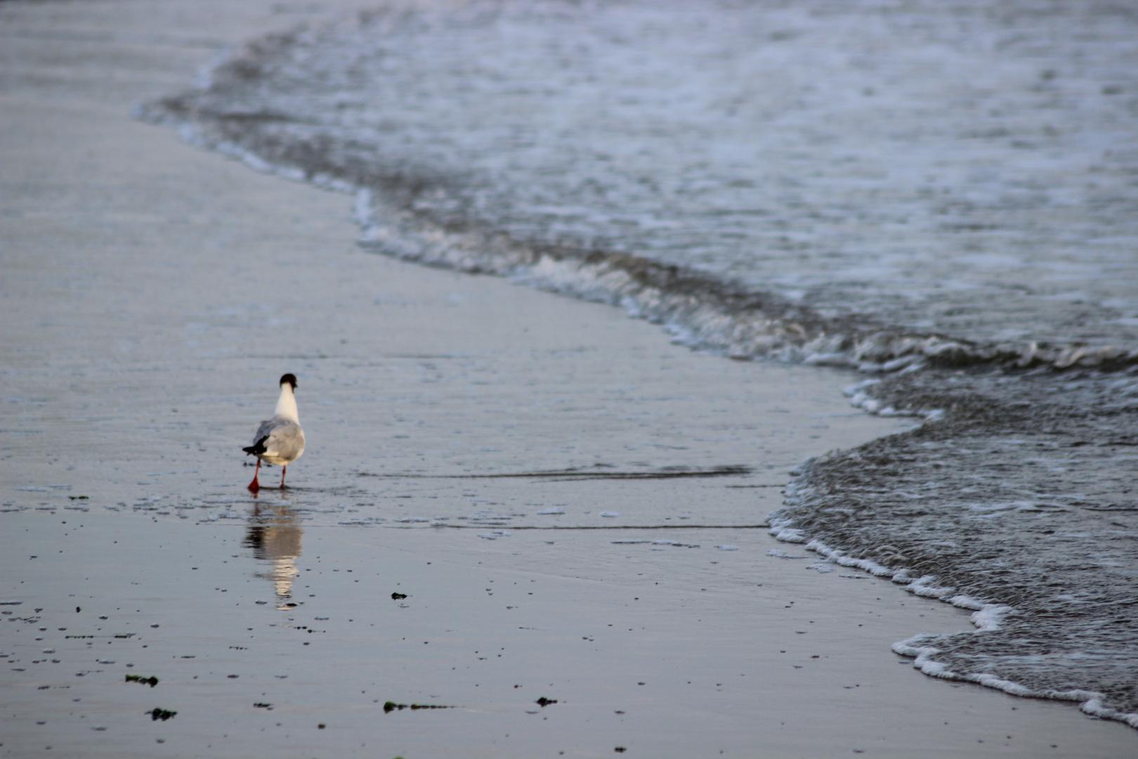 laufender Vogel am Wasser