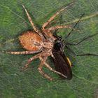 Laufspinne, Philodromidae