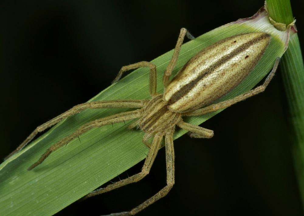 Laufspinnenart, Tibellus oblongus, Weibchen