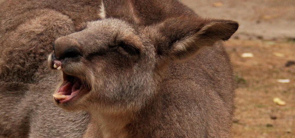 Laughing roo....