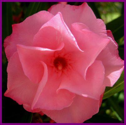 laurier rose douceur !