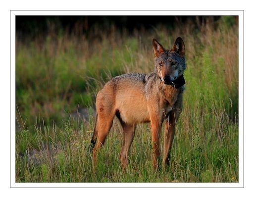 Lausitz - Wolf