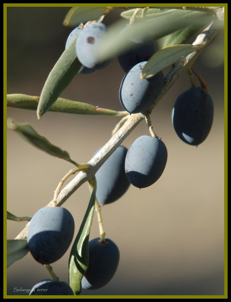 l'automne dans les oliviers