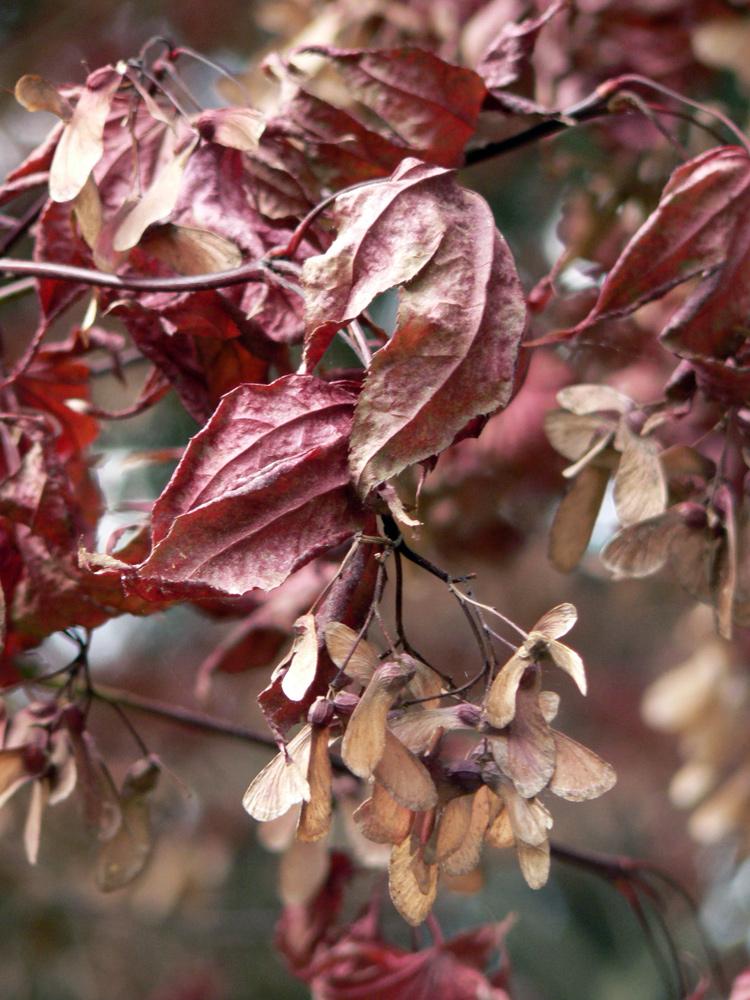 L'automne rose