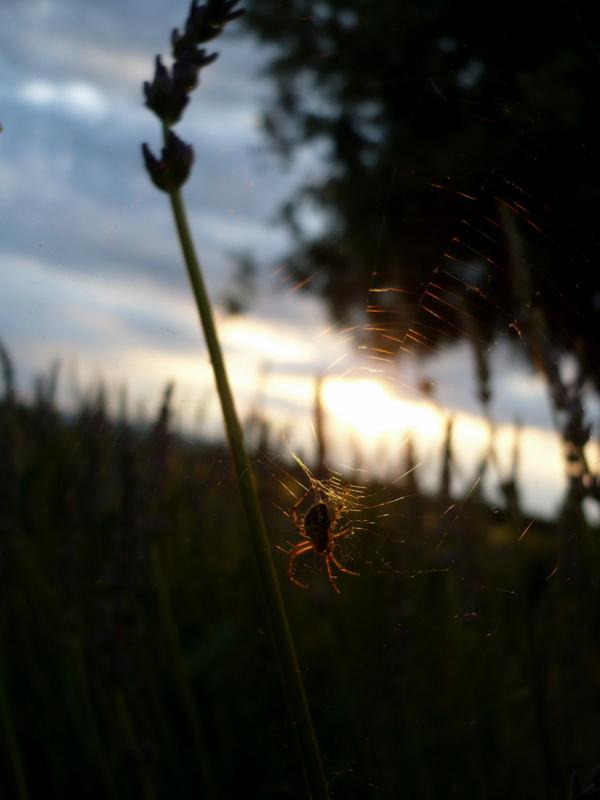 Lavande et araignée