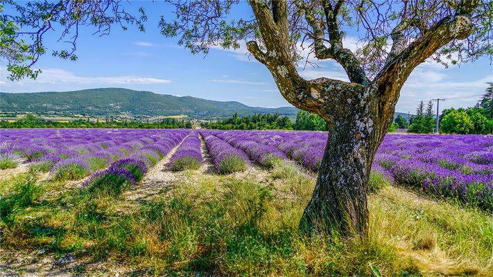 Lavande et olivier