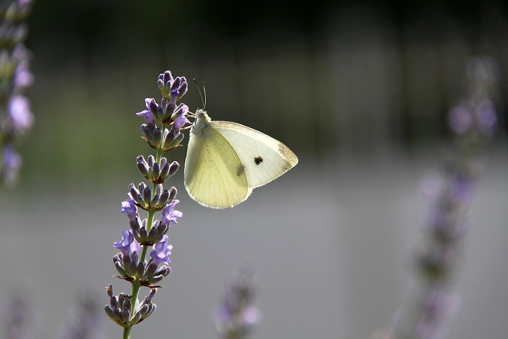 Lavande et papillon font bon ménage !!!