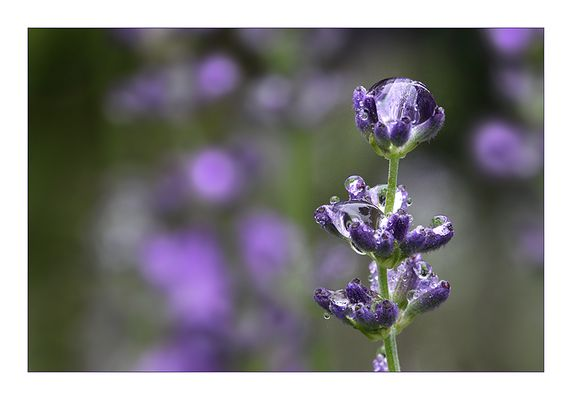 Lavendel ...