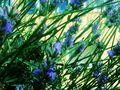 Lavendel von SINA