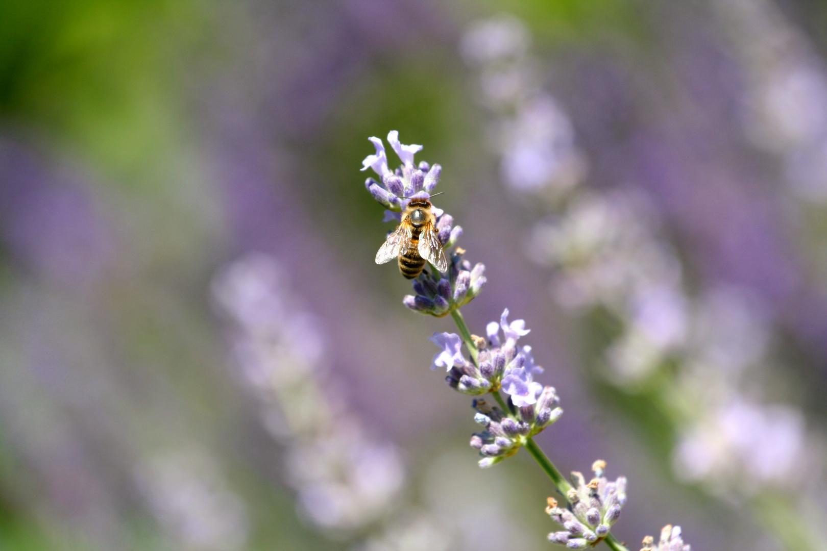 Lavendel-Bienchen
