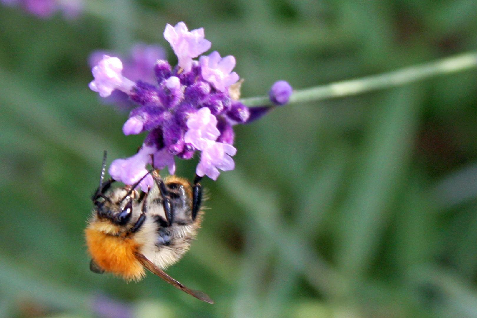 Lavendel  Blütenbesucher