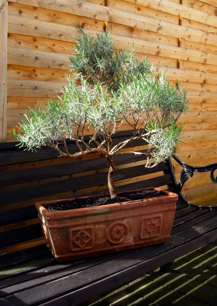 lavendel bonsai foto bild pflanzen pilze flechten bl ten kleinpflanzen lavendel. Black Bedroom Furniture Sets. Home Design Ideas