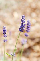 Lavendel I