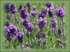 Lavendel im eigenen Garten