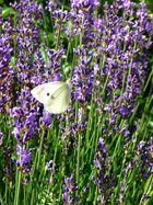 Lavendel im heimischen Garten