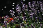 Lavendel im Sommerregen