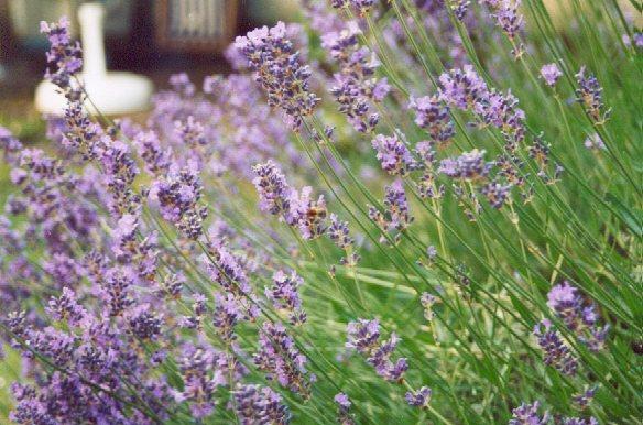 Lavendel im Winde